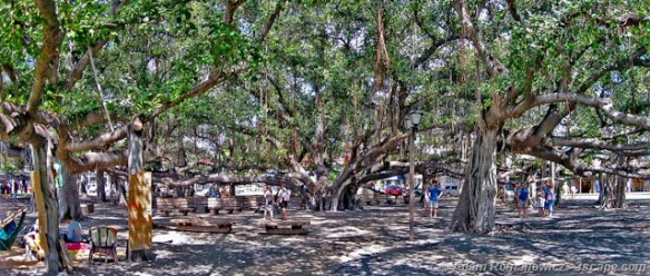 Huge-intertwined-Banyan-tree-in-Lahaina